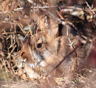 Image of Cottontail hiding in brush