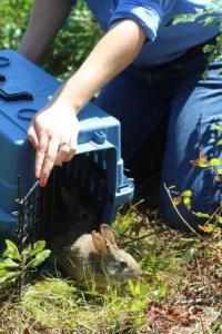New England cottontail being released