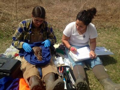 Amanda Cheeseman, left, with captured cottontail rabbit.