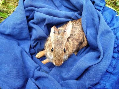 New England cottontail in blue blanket
