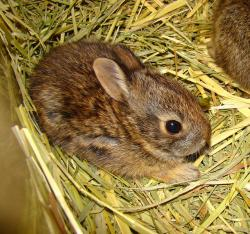 New England cottontail at Roger Williams Zoo
