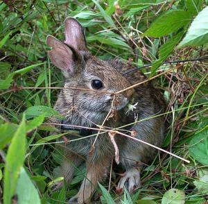 New England cottontail in summer