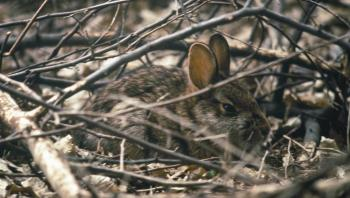 New England cottontail in thick brush