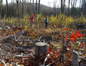 Clearcut in Berkshires will become New England cottontail habitat