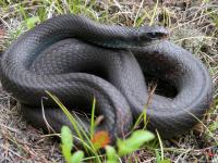 Black racers also need young-forest habitat