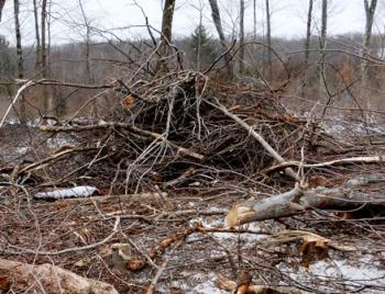 Brush pile built for New England cottontails