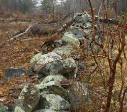 Stone walls show that logged area was once an old farm field