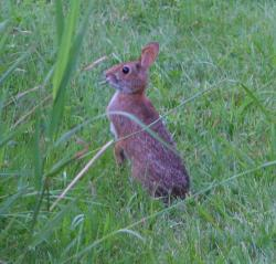 New England cottontail feeding in green field