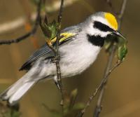 Golden-winged warblers need young forest and shrubland