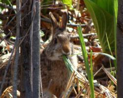Cottontail Image