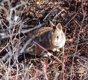 New England cottontail in Maine habitat