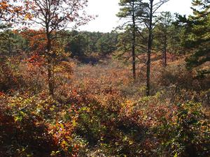 Barrens habitat on Upper Cape Cod