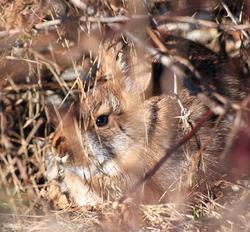 New England cottontail hiding in habitat.