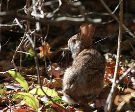 New England cottontail in young forest habitat.