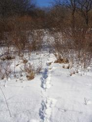 Rabbit tracks in snow leading into thick habitat.