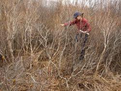 Biologist in dense cottontail habitat