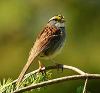 White-throated sparrows need young forest.