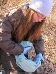 Research helps conservationists learn more about New England cottontails.