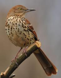 Brown thrashers also need young-forest habitat