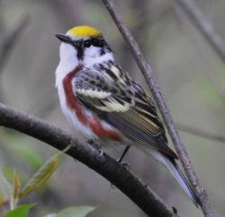 Chestnut-sided warblers also use New England cottontail habitat