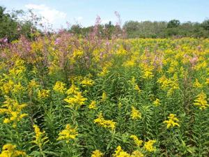 Old field with goldenrod