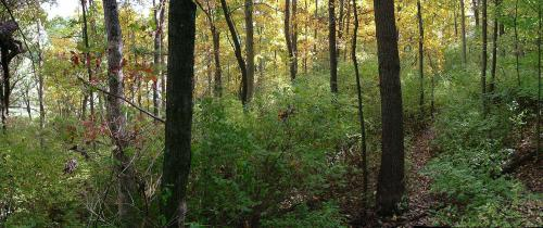 Invasives in forest understory