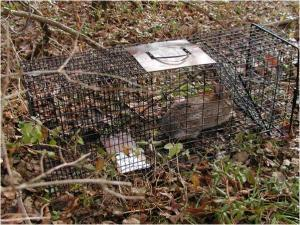 New England cottontail in live trap