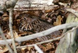 female grouse on nest