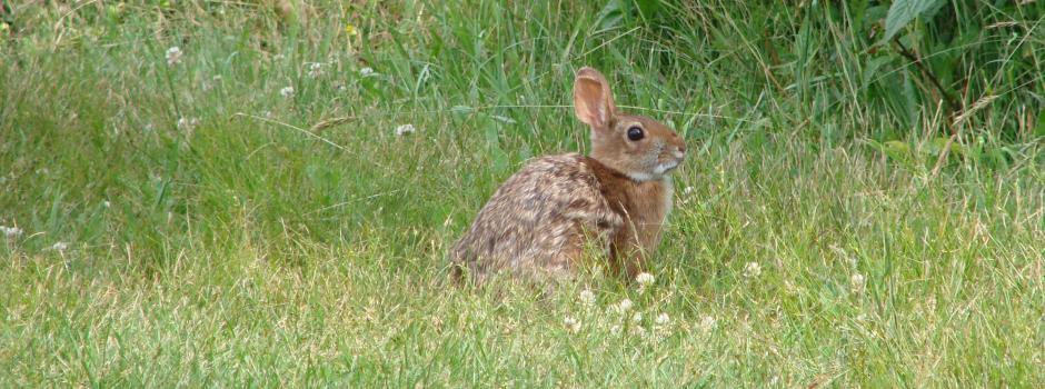 Cottontail rabbit habitat - photo#30